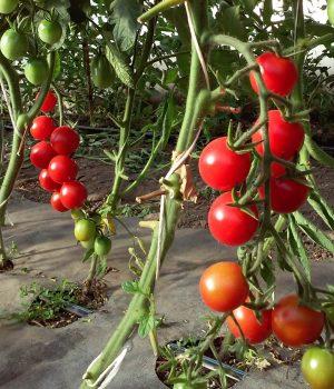 RED CHERRY Paradicsom palánta